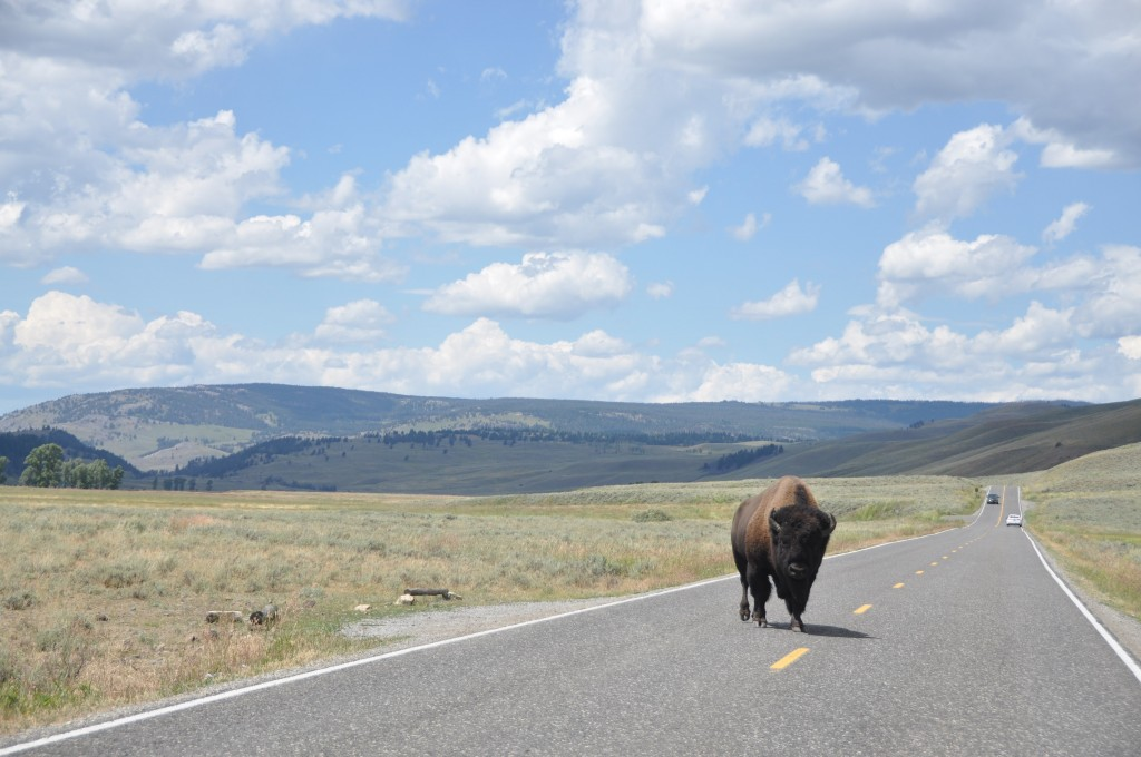 2015_07_26_yellowstone_buffalo-1-1024x680.jpg